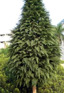 3m-juniper-tree