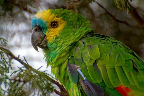 Papagaio-verdadeiro.jpg