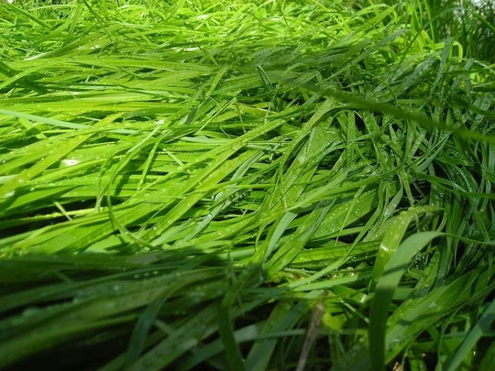 800px-Sweet_Grass-5c4f0ed846e0fb0001c0db16